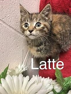 American Shorthair Kitten for adoption in Salem, West Virginia - Latte