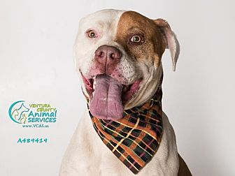 Mastiff/Pit Bull Terrier Mix Dog for adoption in Beverly Hills, California - Buster A489419 @ VCAS-Camarill