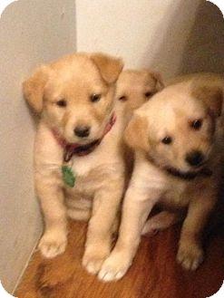 Labrador Retriever/Golden Retriever Mix Puppy for adoption in Regina, Saskatchewan - Ella (Mozzarella)