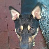Adopt A Pet :: Bear - Daleville, AL