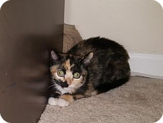 Calico Kitten for adoption in Marlton, New Jersey - Goggles