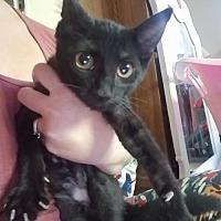 Adopt A Pet :: Twilight-Miss Kitty - DeLand, FL