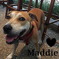 Adopt A Pet :: A434612 Maddie - San Antonio, TX