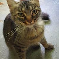 Adopt A Pet :: ME coon - Woodstock, VA