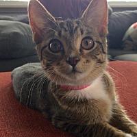Adopt A Pet :: Mopsy C1952 - Shakopee, MN