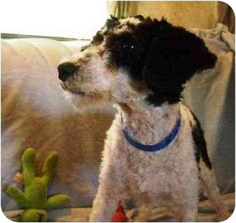 Miniature Poodle Puppy for adoption in North Benton, Ohio - Bogart (hypo allergenic)