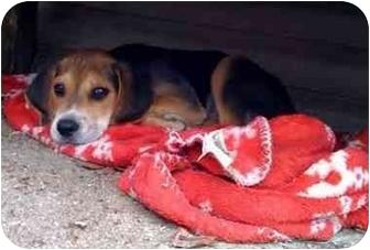 Beagle/Hound (Unknown Type) Mix Puppy for adoption in Fenton, Missouri - Marco