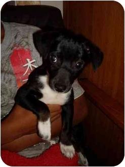 Rat Terrier/Boston Terrier Mix Puppy for adoption in Foster, Rhode Island - Wesley