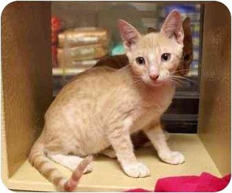 Domestic Shorthair Kitten for adoption in Houston, Texas - Hamlet