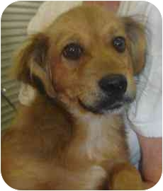 Golden Retriever Mix Puppy for adoption in Old Bridge, New Jersey - Ira