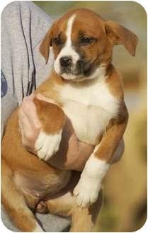 Boxer Mix Puppy for adoption in Staunton, Virginia - Marie