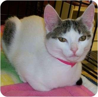 Domestic Shorthair Kitten for adoption in Byron Center, Michigan - Chet