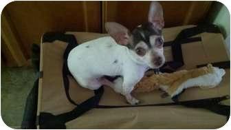 Chihuahua Mix Dog for adoption in Worcester, Massachusetts - Pazuzu
