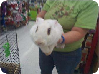 Dwarf Hotot Mix for adoption in Las Vegas, Nevada - HOT-TOTTIE.. ONE SPICEY BUNNY
