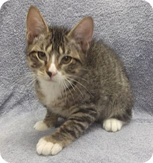 Domestic Shorthair Kitten for adoption in Wheaton, Illinois - Hobart