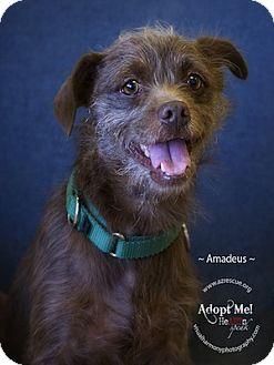 Border Terrier Mix Dog for adoption in Phoenix, Arizona - Amadeus