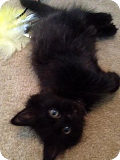 Domestic Longhair Kitten for adoption in Troy, Michigan - Little Valverde