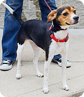 Beagle Mix Puppy for adoption in Hastings, New York - Jordi