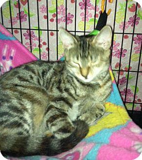 Domestic Shorthair Cat for adoption in Colmar, Pennsylvania - Rosie Posie
