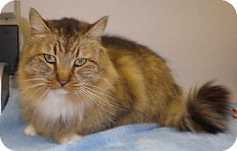 Domestic Longhair Cat for adoption in Weare, New Hampshire - Cherie
