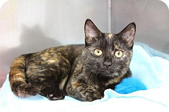 Domestic Shorthair Kitten for adoption in Medfield, Massachusetts - Maggie