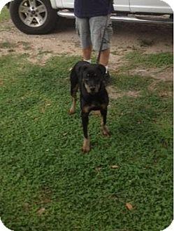 Rottweiler Mix Puppy for adoption in New Smyrna Beach, Florida - Minni