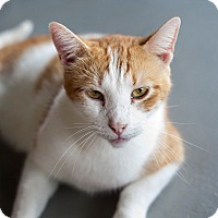 Domestic Shorthair Cat for adoption in Carencro, Louisiana - Nemo