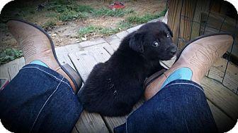 Australian Shepherd/Labrador Retriever Mix Puppy for adoption in Huntersville, North Carolina - Axl