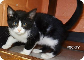 Domestic Shorthair Kitten for adoption in Lapeer, Michigan - MICKEY-BEAUTIFUL BLACK & WHITE