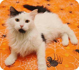 Domestic Longhair Cat for adoption in Anoka, Minnesota - Norma Jean