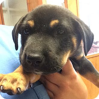 Rottweiler Mix Puppy for adoption in Ft. Lauderdale, Florida - Prudence