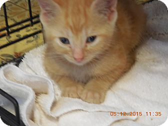 Domestic Shorthair Kitten for adoption in Parkton, North Carolina - Little Red