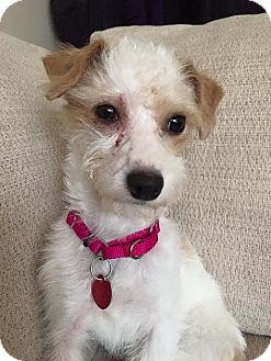 Poodle (Toy or Tea Cup)/Terrier (Unknown Type, Small) Mix Dog for adoption in Troy, Michigan - Sheila