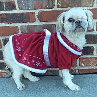 Shih Tzu/Pekingese Mix Dog for adoption in Mount Pleasant, South Carolina - Cocoa