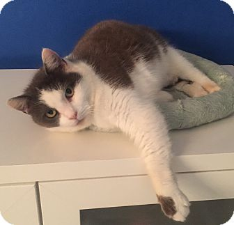 Domestic Shorthair Cat for adoption in Mount Pleasant, South Carolina - Cupcake