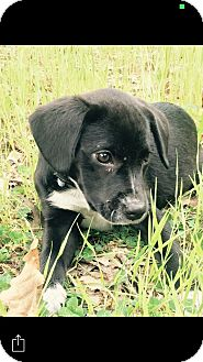 Corgi/Dachshund Mix Puppy for adoption in HAGGERSTOWN, Maryland - COOKIE
