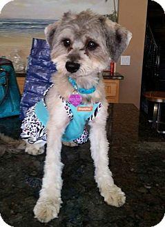 Havanese Mix Dog for adoption in Covina, California - Eliza