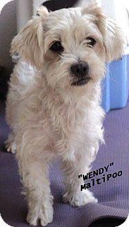 Maltese/Poodle (Standard) Mix Dog for adoption in El Cajon, California - Wendy -