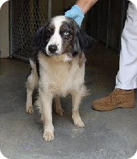 Australian Shepherd/Border Collie Mix Dog for adoption in Laingsburg, Michigan - Gracie
