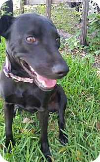 Labrador Retriever/Whippet Mix Puppy for adoption in Miami, Florida - Tequila