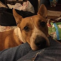 Australian Cattle Dog/Australian Cattle Dog Mix Dog for adoption in Pt. Richmond, California - SAWYER