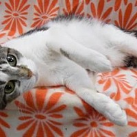 Domestic Shorthair/Domestic Shorthair Mix Cat for adoption in Anderson, Indiana - Belinda