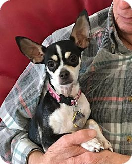 Chihuahua Mix Dog for adoption in Dallas, Texas - Ruby