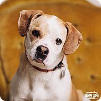 Adopt A Pet :: Pixie - Portland, OR