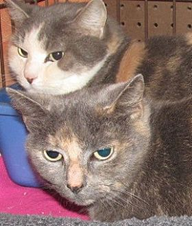 Domestic Shorthair Cat for adoption in Germantown, Maryland - Hannah & Harley