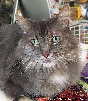 Domestic Longhair Cat for adoption in Oak Ridge, Tennessee - Noelle