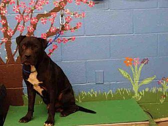 Labrador Retriever Dog for adoption in Waco, Texas - ROLLO
