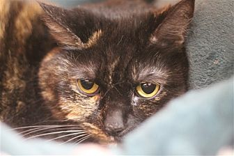 Domestic Shorthair Cat for adoption in North Branch, New Jersey - Girlfriend