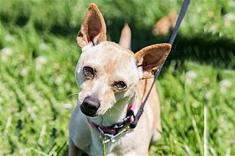 Terrier (Unknown Type, Medium)/Chihuahua Mix Dog for adoption in Napa, California - Chip