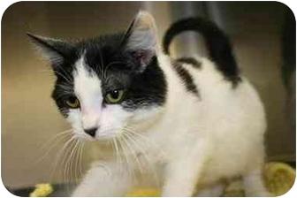 Domestic Shorthair Kitten for adoption in Saint Charles, Missouri - Bo Pumpkins